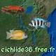 cichlide38